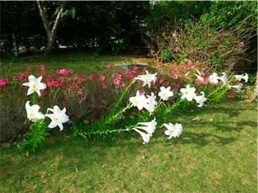 庭の百合.jpg